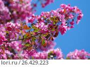 Цветущая яблоня. Стоковое фото, фотограф Natalia Sidorova / Фотобанк Лори
