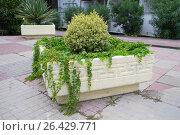 Композиция из лазающего растения и куста в наземном кашпо. Стоковое фото, фотограф Виктория Ратникова / Фотобанк Лори