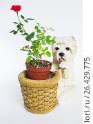 Миниатюрная красная роза в декоративном керамическом горшке в форме корзины и белой собаки рядом с ней. Стоковое фото, фотограф Виктория Ратникова / Фотобанк Лори