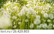Купить «A lot of Dandelions», видеоролик № 26429803, снято 25 мая 2017 г. (c) Илья Шаматура / Фотобанк Лори