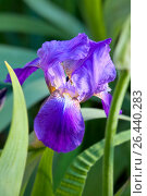 Купить «Фиолетовый ирис (Iris barbatus)», фото № 26440283, снято 1 июня 2017 г. (c) Татьяна Белова / Фотобанк Лори