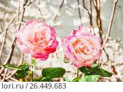 Купить «Чайно-гибридная роза на солнце», фото № 26449683, снято 30 мая 2017 г. (c) Алёшина Оксана / Фотобанк Лори