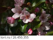 Цветущая яблоня. Стоковое фото, фотограф Dan / Фотобанк Лори