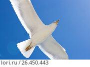 Flying gull. Стоковое фото, фотограф Тамара Наянова / Фотобанк Лори
