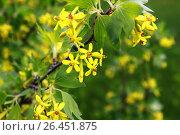 Йошта цветёт. Стоковое фото, фотограф Аня Шумкова / Фотобанк Лори