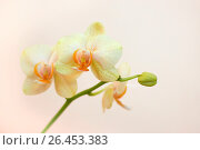 Orchid flowers. Стоковое фото, фотограф Тамара Наянова / Фотобанк Лори