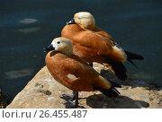 Купить «Огарь, или красная утка (лат. Tadorna ferruginea)», эксклюзивное фото № 26455487, снято 10 августа 2016 г. (c) lana1501 / Фотобанк Лори