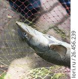 Купить «Свежевыловленная осетровая рыба в сети. Крупный план», фото № 26456239, снято 28 мая 2017 г. (c) Светлана Ельцова / Фотобанк Лори