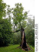 Купить «Half dead tree, Germany, North Rhine-Westphalia, Bergisches Land, Odenthal», фото № 26459635, снято 20 июня 2019 г. (c) age Fotostock / Фотобанк Лори