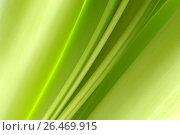 Купить «Amaryllis (Hippeastrum spec.), structure of the leaf», фото № 26469915, снято 2 декабря 2005 г. (c) age Fotostock / Фотобанк Лори