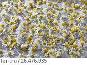 Scented mayweed, german chamomile, german mayweed (Matricaria chamomilla, Matricaria recutita), flowers are dried, Germany. Стоковое фото, фотограф F. Hecker / age Fotostock / Фотобанк Лори