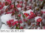 Купить «European spindle-tree (Euonymus europaea, Euonymus europaeus), fruiting branches in snow, Germany», фото № 26477243, снято 8 ноября 2016 г. (c) age Fotostock / Фотобанк Лори