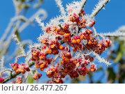 Купить «European spindle-tree (Euonymus europaea, Euonymus europaeus), fruits with hoar frost, Germany», фото № 26477267, снято 12 ноября 2016 г. (c) age Fotostock / Фотобанк Лори