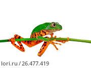 Купить «Barred leaf frog, Tiger-striped leaf frog (Phyllomedusa tomopterna), sitting on a sprout, cutout», фото № 26477419, снято 24 января 2012 г. (c) age Fotostock / Фотобанк Лори