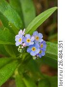 Купить «Water forget-me-not (Myosotis palustris, Myosotis scorpioides), blooming, Germany», фото № 26484351, снято 10 октября 2005 г. (c) age Fotostock / Фотобанк Лори