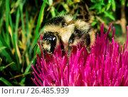 Купить «Knapweed carder bee, Shrill carder bee (Bombus sylvarum), sits on a thistle flower, Germany», фото № 26485939, снято 22 июля 2015 г. (c) age Fotostock / Фотобанк Лори