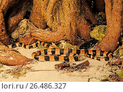 Купить «Banded yellow-lipped sea krait, Banded yellow-lipped sea snake, Banded sea snake (Laticauda colubrina), sea snake at a tree root on the beach, New Caledonia, Ile des Pins», фото № 26486327, снято 25 января 2013 г. (c) age Fotostock / Фотобанк Лори