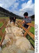 Купить «Domestic sheep (Ovis ammon f. aries), sheep are vaccinated, oral vaccination, Germany, Baden-Wuerttemberg, Black Forest», фото № 26498727, снято 13 апреля 2012 г. (c) age Fotostock / Фотобанк Лори