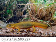 Купить «Smooth newt (Triturus vulgaris, Lissotriton vulgaris ), female, swimming, Germany, Hesse», фото № 26500227, снято 11 апреля 2011 г. (c) age Fotostock / Фотобанк Лори
