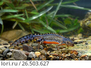 Купить «Alpine newt (Triturus alpestris, Ichthyosaura alpestris, Mesotriton alpestris, Ichthyosaura alpestris carpathica), male alpine newt from the Carpathians, Romania, Karpaten», фото № 26503627, снято 20 апреля 2013 г. (c) age Fotostock / Фотобанк Лори