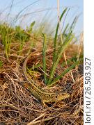 Купить «Sand lizard (Lacerta agilis, Lacerta agilis chersonensis), male sand lizard in its habitat, Romania, Moldau», фото № 26503927, снято 18 апреля 2013 г. (c) age Fotostock / Фотобанк Лори