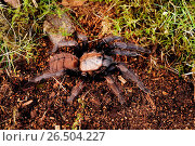 Купить «Indian violet tarantula (Chilobrachys fimbriatus), in terrarium», фото № 26504227, снято 2 декабря 2012 г. (c) age Fotostock / Фотобанк Лори