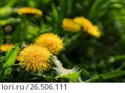 Купить «Close up of blooming yellow dandelion flowers», фото № 26506111, снято 27 мая 2017 г. (c) Илья Малов / Фотобанк Лори
