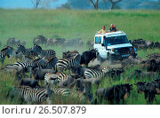 Купить «Blue wildebeest, brindled gnu, white-bearded wildebeest (Connochaetes taurinus), migrating herd with zebras, watching by safari tourists, Tanzania, Serengeti National Park», фото № 26507879, снято 18 февраля 2020 г. (c) age Fotostock / Фотобанк Лори