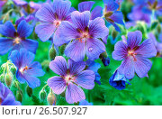 Купить «Purple cranesbill (Geranium x magnificum), blooming», фото № 26507927, снято 28 января 2020 г. (c) age Fotostock / Фотобанк Лори