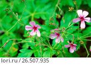 Купить «Canary Island geranium (Geranium palmatum), blooming», фото № 26507935, снято 28 января 2020 г. (c) age Fotostock / Фотобанк Лори