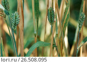 Купить «Club wheat, wheat (Triticum aestivum ssp. compactum, Triticum compactum (unbegrannt)), spikes», фото № 26508095, снято 10 декабря 2019 г. (c) age Fotostock / Фотобанк Лори