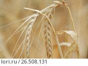 Купить «Barley (Hordeum distichon var. nudum, Hordeum vulgare ssp. distichon var. nudum), spikes», фото № 26508131, снято 10 декабря 2019 г. (c) age Fotostock / Фотобанк Лори