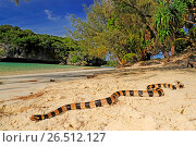 Купить «Banded yellow-lipped sea krait, Banded yellow-lipped sea snake, Banded sea snake (Laticauda colubrina), sea snake on the beach of +le des Pins, New Caledonia, Ile des Pins», фото № 26512127, снято 23 января 2013 г. (c) age Fotostock / Фотобанк Лори