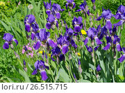 Купить «Фиолетовые бородатые ирисы (лат. Iris barbatus) в саду», фото № 26515715, снято 10 июня 2017 г. (c) Елена Коромыслова / Фотобанк Лори