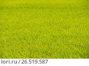 Gree rice field. Стоковое фото, фотограф Александр Подшивалов / Фотобанк Лори