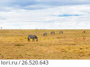 Купить «zebras grazing in savannah at africa», фото № 26520643, снято 17 февраля 2017 г. (c) Syda Productions / Фотобанк Лори