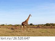 Купить «giraffe walking along savannah at africa», фото № 26520647, снято 18 февраля 2017 г. (c) Syda Productions / Фотобанк Лори