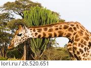 Купить «giraffe at national reserve in africa», фото № 26520651, снято 21 февраля 2017 г. (c) Syda Productions / Фотобанк Лори