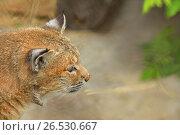 Рыжая рысь (Felis (Lynx) rufus). Портрет. Стоковое фото, фотограф Валерия Попова / Фотобанк Лори