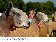 Shepherd showing a Blue Faced Leicester ram at an agricultural show. (Photo by: Wayne Hutchinson/Farm Images/UIG) Стоковое фото, фотограф Farm Images \ UIG / age Fotostock / Фотобанк Лори