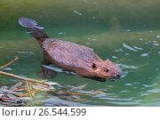 Eurasian beaver, European beaver (Castor fiber), juvenile floating on the water, Austria, Tyrol. Стоковое фото, фотограф R. Sturm / age Fotostock / Фотобанк Лори