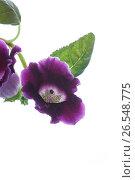 Купить «Beautiful blooming flower violet», фото № 26548775, снято 17 июня 2017 г. (c) Peredniankina / Фотобанк Лори