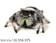 Jumping spiders, regal jumping spider (Phidippus regius), one of the largest jumping spiders in the world, male, cut-out. Стоковое фото, фотограф B. Trapp / age Fotostock / Фотобанк Лори