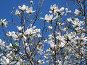 Белые цветки магнолии на фоне голубого неба, фото № 26562139, снято 30 апреля 2017 г. (c) Вячеслав Палес / Фотобанк Лори
