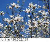 Купить «Белые цветки магнолии на фоне голубого неба», фото № 26562139, снято 30 апреля 2017 г. (c) Вячеслав Палес / Фотобанк Лори