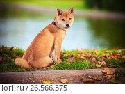 Купить «Young shiba inu sits in green garden», фото № 26566375, снято 6 сентября 2014 г. (c) Константин Сенявский / Фотобанк Лори