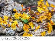 Купить «Lewisia cotyledon is a plant for dry alpine parts.», фото № 26567255, снято 13 мая 2017 г. (c) age Fotostock / Фотобанк Лори