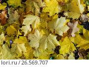 Купить «Россия, жёлтые опавшие листья клёна в парке», фото № 26569707, снято 26 января 2020 г. (c) glokaya_kuzdra / Фотобанк Лори