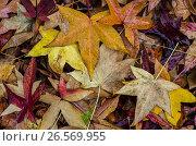 Купить «Россия, жёлтые опавшие листья клёна в парке», фото № 26569955, снято 26 января 2020 г. (c) glokaya_kuzdra / Фотобанк Лори