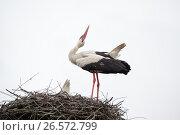 Купить «The adult white stork in a nest has raised the head», фото № 26572799, снято 12 июня 2017 г. (c) Anatoly Timofeev / Фотобанк Лори